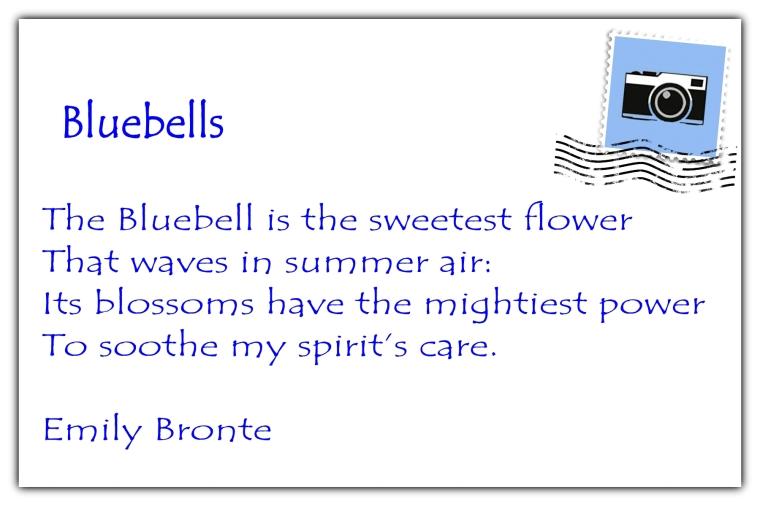 Bluebells postcard back